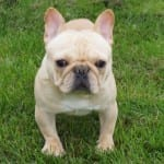 Cayden, French Bulldog Sire