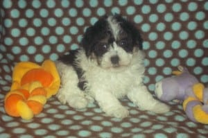 """Samantha"" Female Havanese $950 DOB: 2-14-2014"
