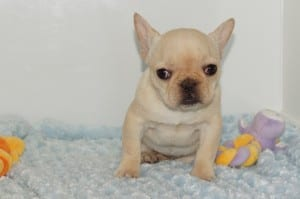"""Allissa"" Cream Female DOB: 10-2-2013 $1800.00"