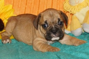 """Susie"" Mini Bulldog $1400.00 DOB: 10-11-2013"