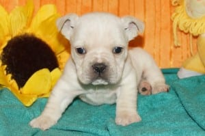 """Jack"" Mini Bulldog $1500.00 DOB: 10-11-2013"