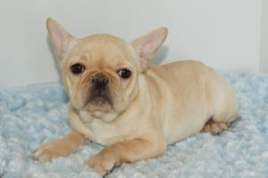 """Alice"" AKC Female DOB: 10-2-2013 $1800.00"
