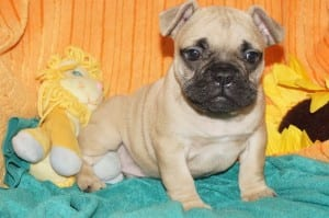 """Remy"" Frenchie Pug DOB: 9-23-2013 $1500.00"