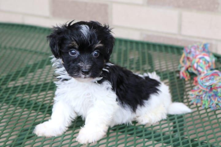 Havanese Puppies For Sale & Breeders in Cincinnati Ohio ...