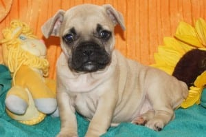 """Cleo"" Frenchie Pug DOB: 9-23-2013 $1500.00"