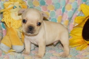 """Andy"" AKC Male DOB: 10-2-2013 $2000.00"