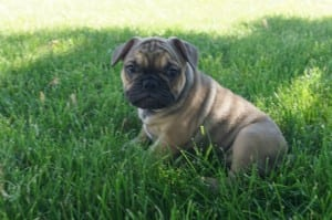 """Gus"" 3/4 Frenchie 1/4 Pug Male $2000"