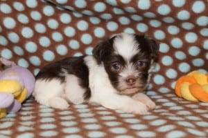 """Brooke"" Female Havanese $1200 DOB: 3-1-2014"