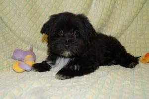 """Tracy"" Female Havanese $850 DOB: 12-25-2013"