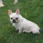 A white French Bulldog.