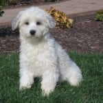 Parent of coton puppies for sale