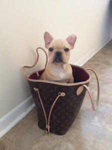 A French Bulldog sitting in a ladies handbag.