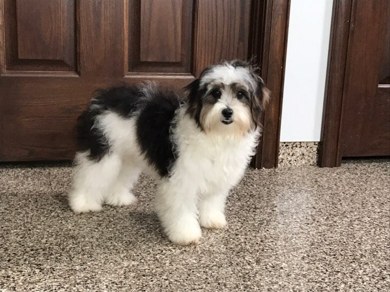 Havanese Puppies For Sale & Breeders in Cincinnati Ohio