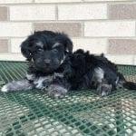 Havanese Puppies For Sale in Cincinnati