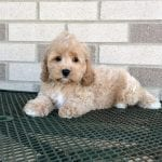 Cockapoo Puppies For Sale in Indiana
