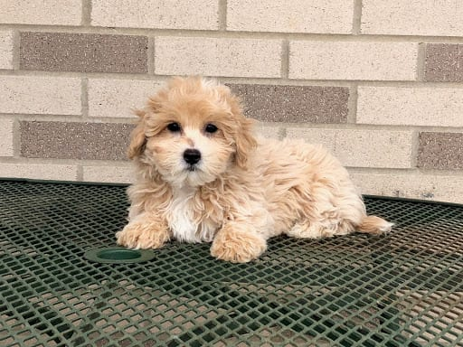 coton de tulear breeders puppies for sale in indiana family puppies