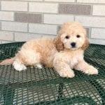 Cockapoo Puppies For Sale in Ohio