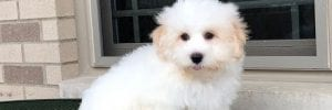 Summary of the Coton de Tulear