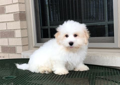 Summary of the Coton de Tulear Dog Breed