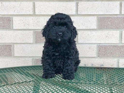 Cockapoo Puppies For Sale in Indiana, Ohio & Chicago ...