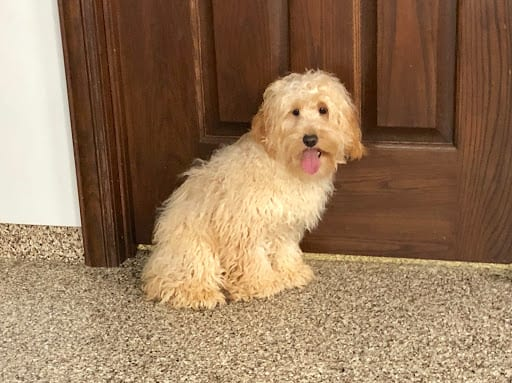 Cockapoo Puppies For Sale In Indiana Ohio Chicago Family Puppies