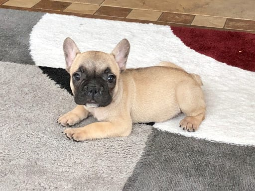 French Bulldog Puppies For Sale In Indiana Chicago Family Puppies