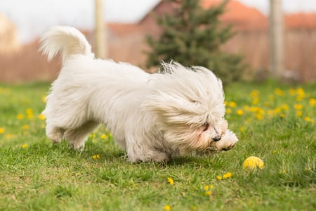 coton de tulear dog playing in garden