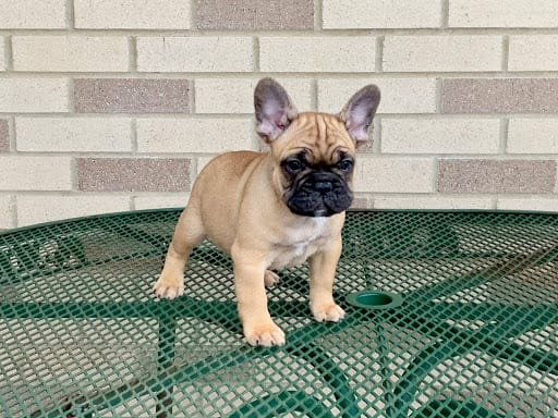 Black and tan french bulldog puppy for sale