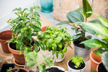natural plants in pots, green garden on a balcony. urban gardening, home planting basil and celery regrow