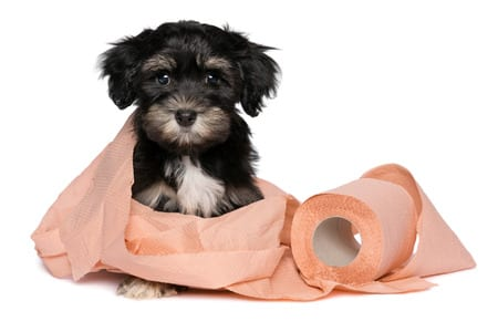 funny little black and tan havanese puppy dog is playing with a roll of peach toilet paper and looking at camera, isolated on white background