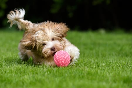 playful havanese puppy dog chasing a pink ball in the grass
