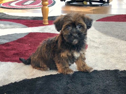 Black and tan havanese puppy for sale