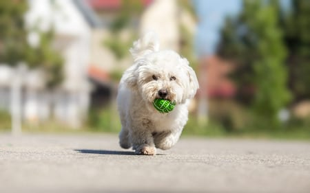 playing fetch with coton de tulear puppy