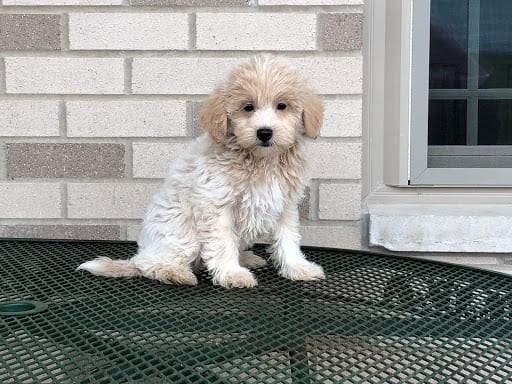 Coton de Tulear puppy for sale