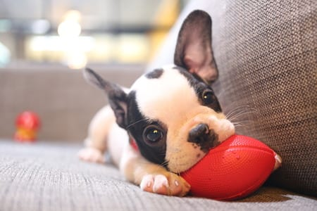 french bulldog puppy playing on a sofa