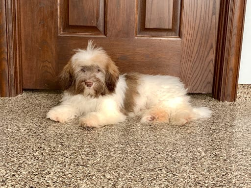 Havanese Puppies For Sale & Breeders in Cincinnati Ohio & Indiana