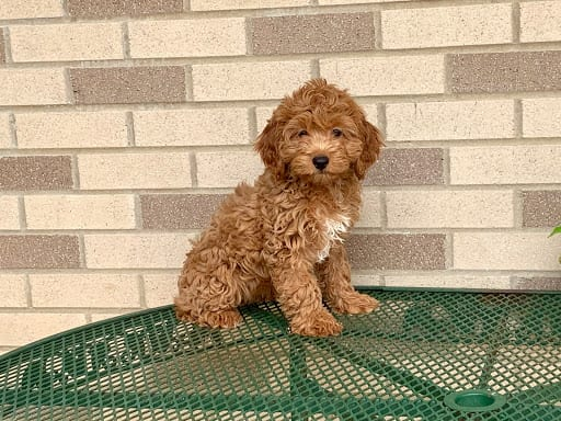 Cockapoo Puppies For Sale | Family Puppies