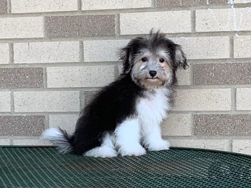 Havanese Puppies For Sale & Breeders in Cincinnati Ohio