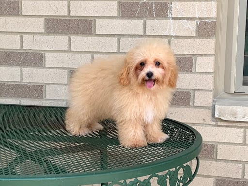 Coton De Tulear Breeders & Puppies For Sale in Indiana | Family Puppies