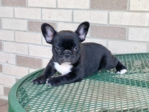 4 Facts About French Bulldogs