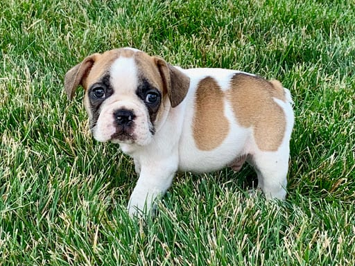 French Bulldog Puppies For Sale in Indiana & Chicago