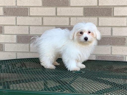 Coton De Tulear Breeders & Puppies For Sale in Indiana