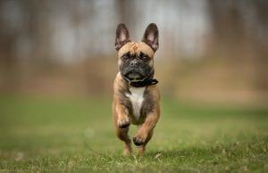 Exercising Your French Bulldog