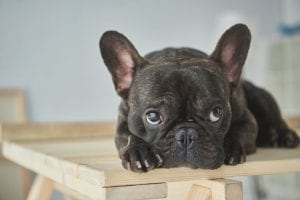 What to Feed Your French Bulldog
