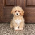 A tan and white Pooton puppy sitting in front of a door.