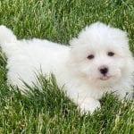 A white Coton de Tulear puppy lying in the grass.