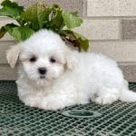 Picture of a white Pooton puppy.