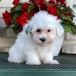 A white Coton de Tulear puppy sitting by some flowers.