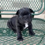 A black and white French Bulldog puppy.